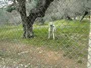 Barking White Dog