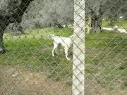 Barking White Dog