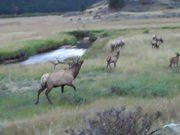 Beautiful Elk