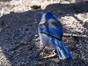 Variegated Birdie