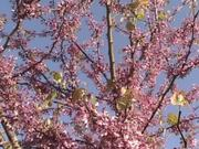Redbud Blossoms in the Early Spring