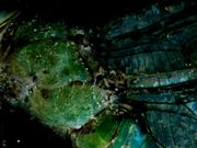 Zombie Dragonfly Discotheque