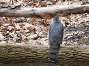 Falcon on the Log
