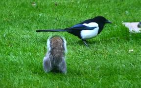 Grey Squirrel and Magpie