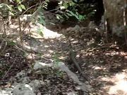 Varahicacos - Iguana