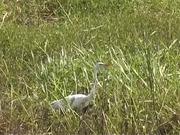Myakka River State Park - Marsh Birds