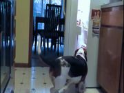 Fridge Raiding Basset Hound