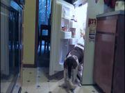 Fridge Raiding Basset Hound