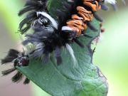 Moth Caterpillars