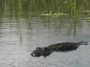 Myakka Park - Full Grown Alligator