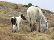 Moorland Ponies, Dartmoor