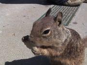 Tortilla Squirrel