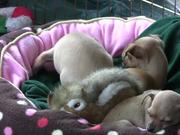 """Chihuahua Puppies - """"Let Me Sleep"""" in HD"""
