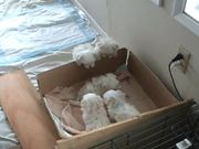 6 Weeks Old Puppies Nursing from their Uncle
