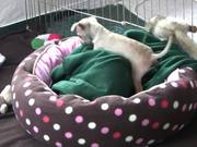 "Chihuahua Puppies - ""Let Me Sleep"" in HD"