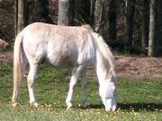 White Pony Munching Buttercups