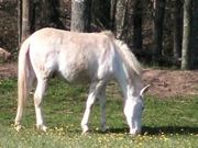 White Pony Munching Buttercups