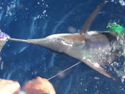 IGFA Great Marlin Race - Striped Marlin Tag