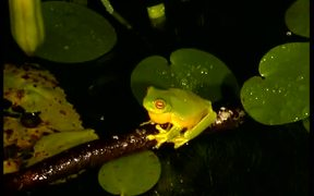 Orange-Eyed Tree Frogs