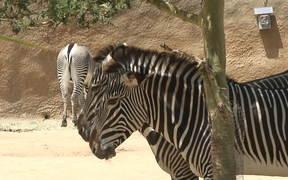 Zebra having some Shade