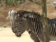 Zebra having some Shade