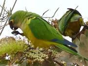 Peach-fronted Parakeets (Aratinga aurea)