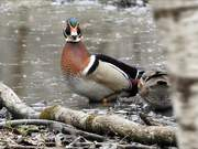 Ducks Branching
