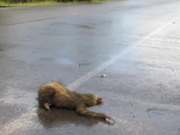 Two Toed Sloth crossing the road