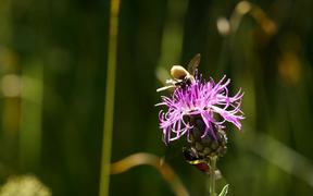 Nectar of Thistle