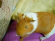 Guinea Pig Mocha's Diary Spring Comes 26/04/12