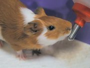 Guinea Pig Mocha's Diary 05/12/11