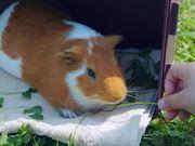 Guinea Pig Mocha's Diary 07/05/12