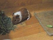 Guinea Pig Mocha's Diary 01/11/11