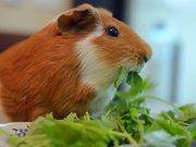 Guinea Pig Mocha's Diary 13
