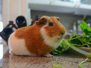 Guinea Pig Mocha's Diary 12 Last Summer