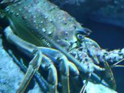 Sleeping Lobster