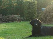 A True Friend - Flat Coated Retriever