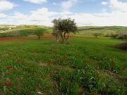 Field of Tulips …