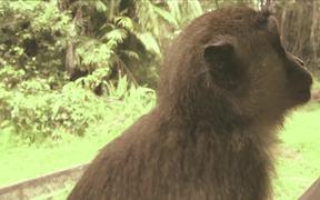Borneo - Probiscus Monkey