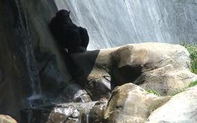 An Ape Resting