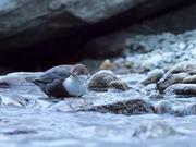 Wasseramsel im Winterlichen Gebirgsbach