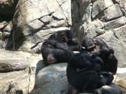 Apes Sleeping