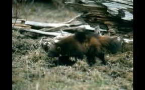 Grand Teton National Park: Wolverine
