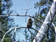 Grand Teton National Park: Marmot