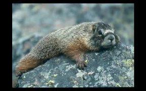 Grand Teton National Park: Marmot