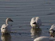 Snow Geese Feeding at Squaw Creek