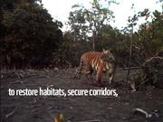 Bengal Tiger Montage, India