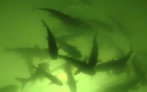 Backlit Fish