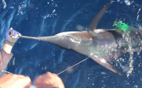 Great Marlin Race - Striped Marlin Tag