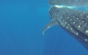 Face to Face with a Whale Shark